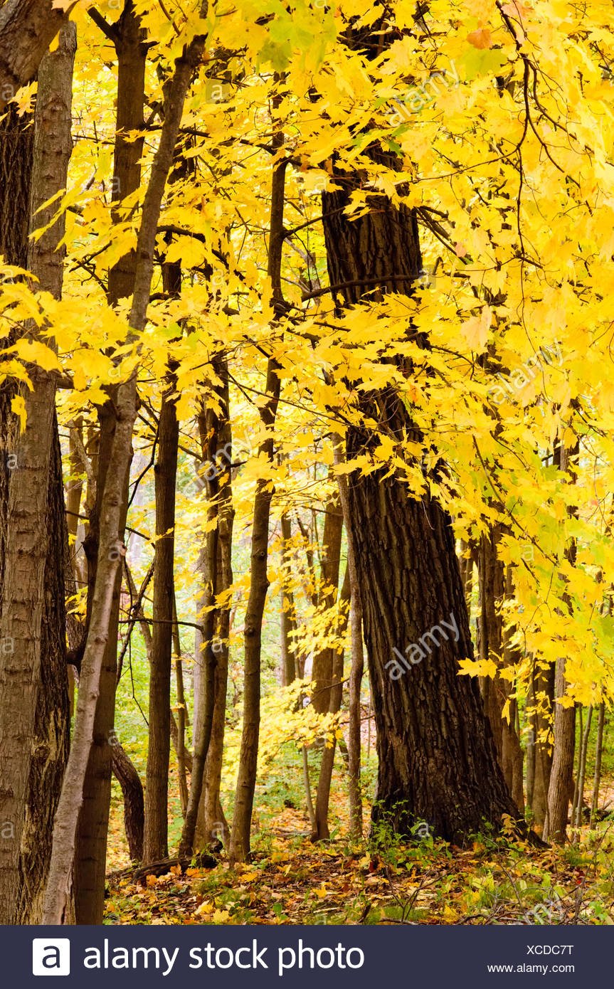Trees with yellow leaves in autumn - Stock Image