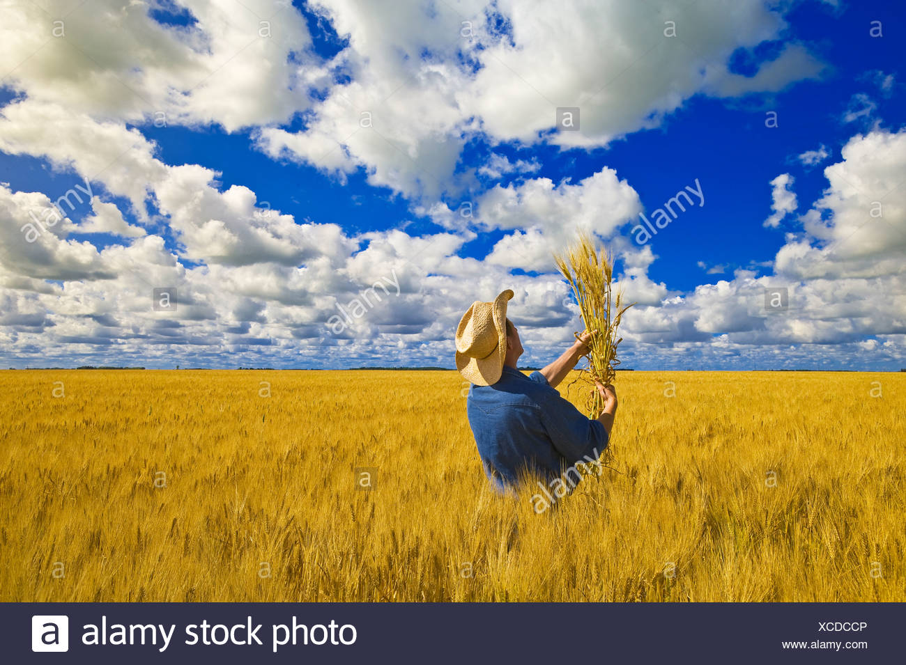 a man examines maturing spring wheat with a sky filled with cumulus clouds in the background, near Dugald, Manitoba, Canada - Stock Image