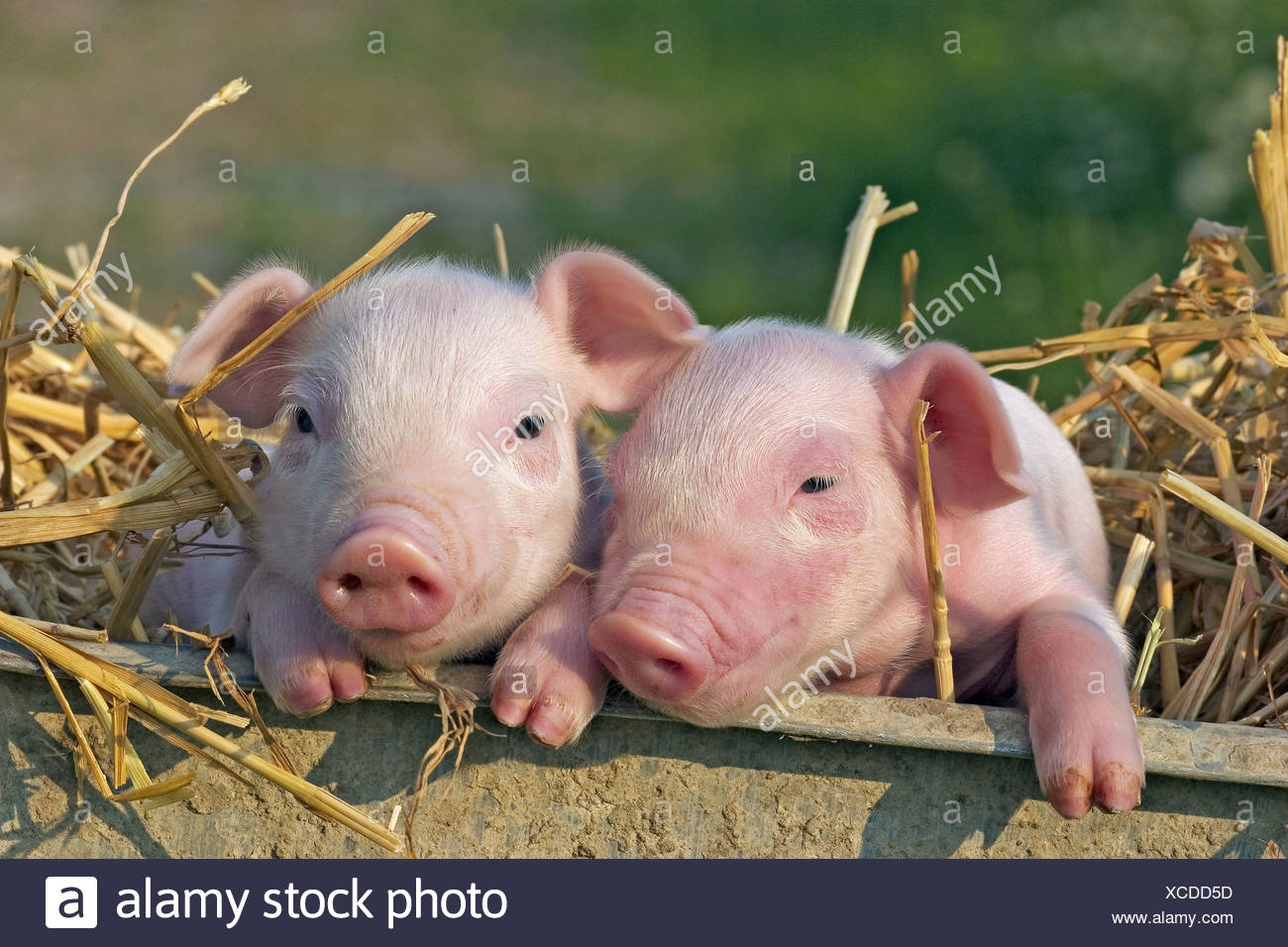 two young pig piglets in straw - Stock Image