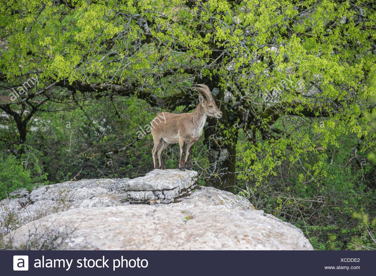 Spanish Ibex (Capra pyrenaica hispanica), Antequera, Andalusia, Spain - Stock Image