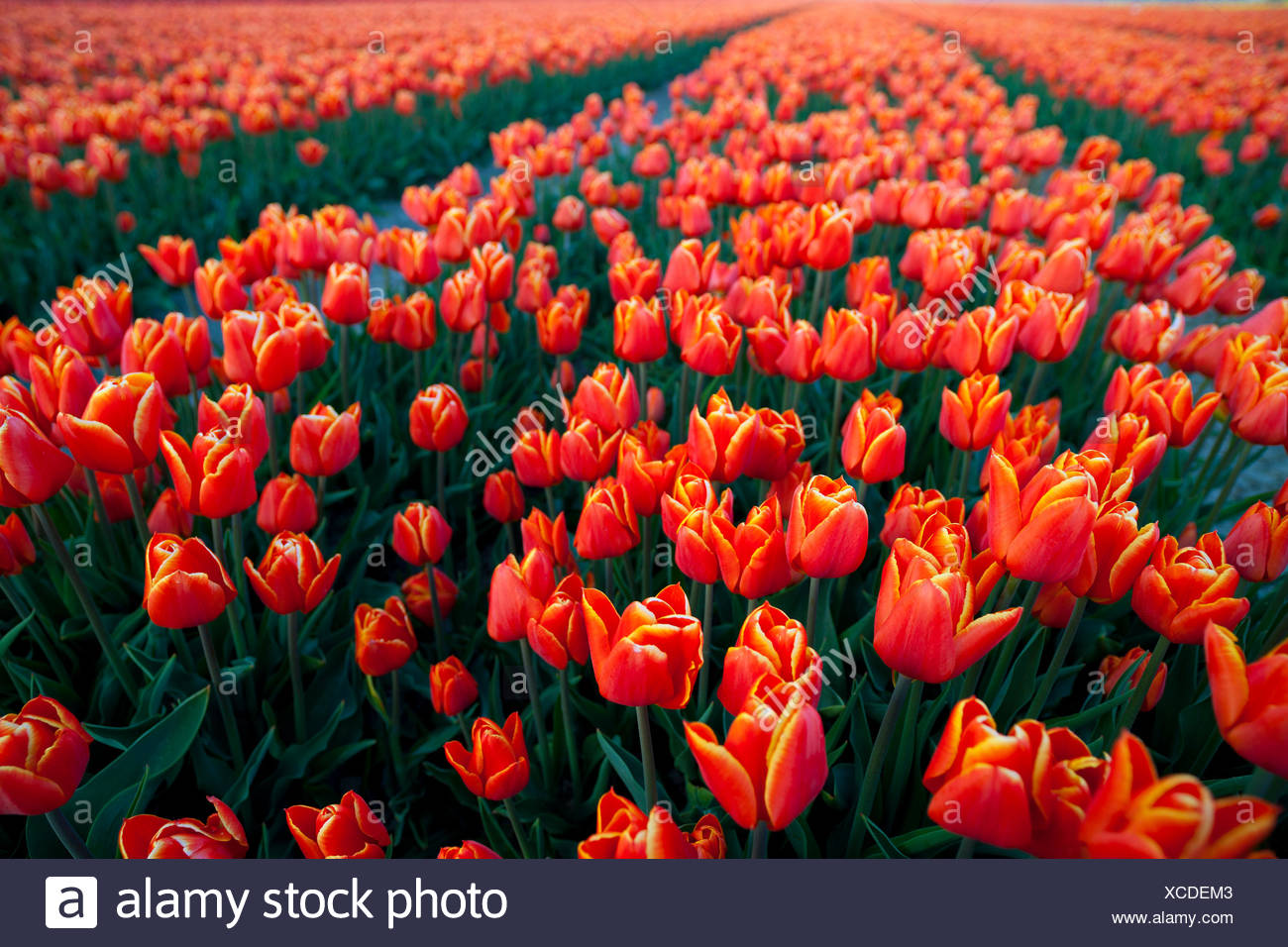 Tulip Field, North Holland, Netherlands Stock Photo