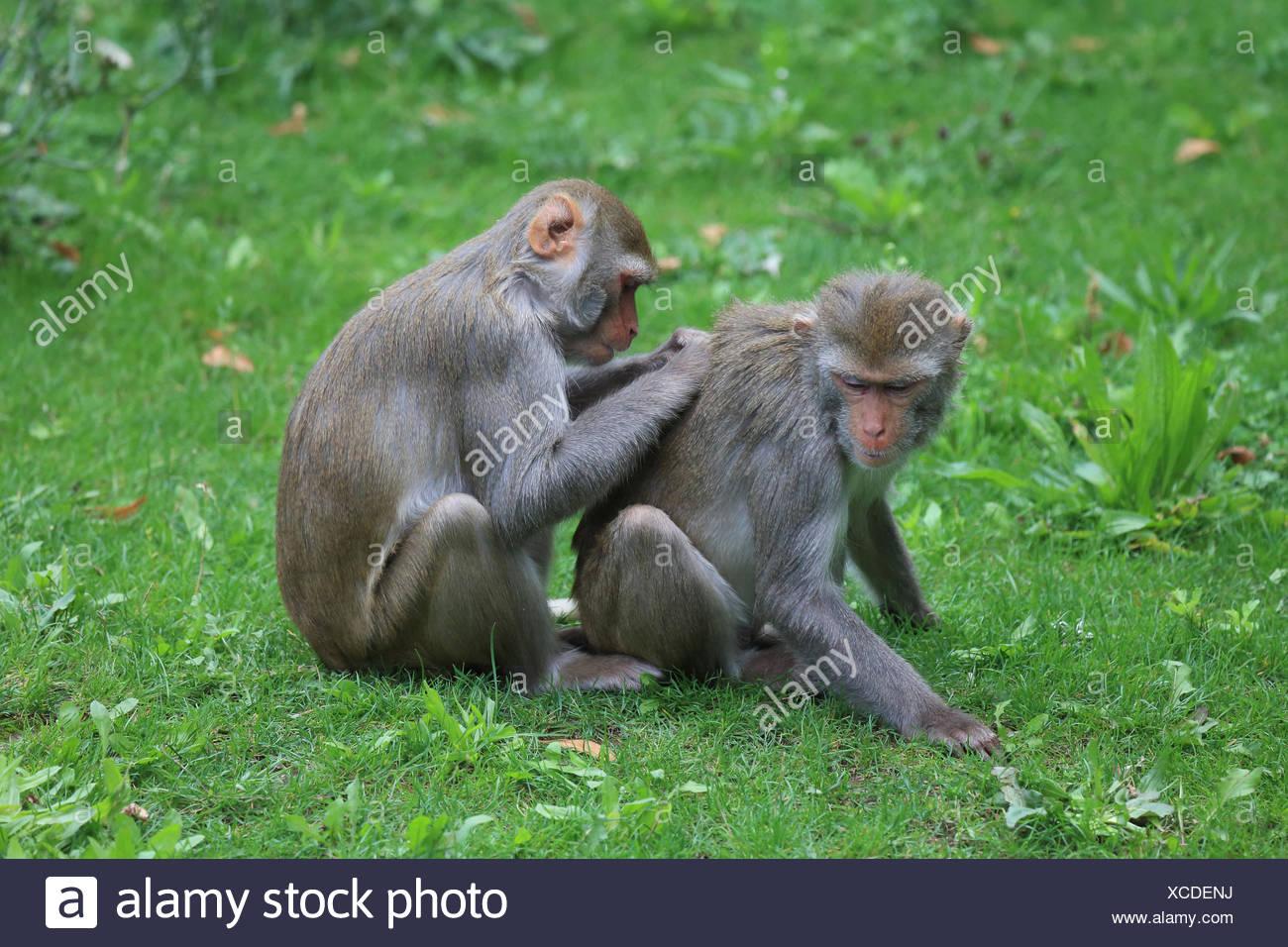 Rhesus macaques delousing, Macaca mulatta - Stock Image