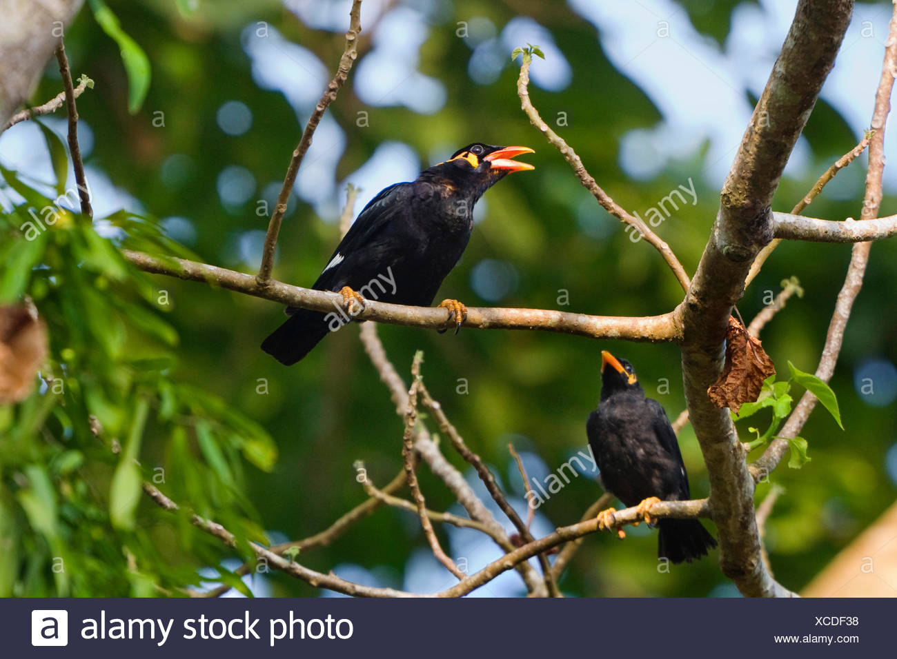 southern grackle (Gracula religiosa), sitting on a branch, India, Andaman Islands - Stock Image