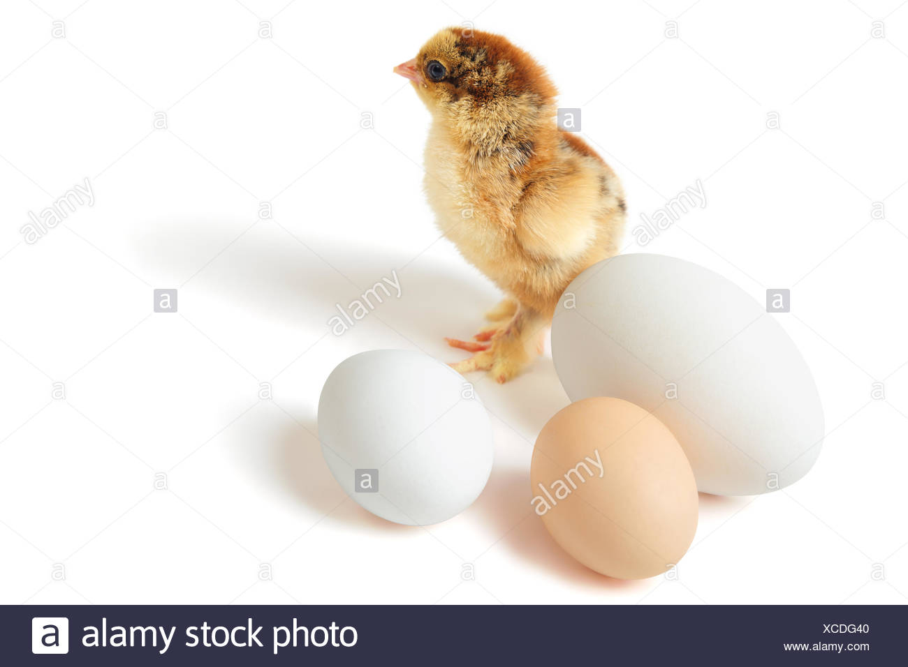 Chick with eggs - Stock Image