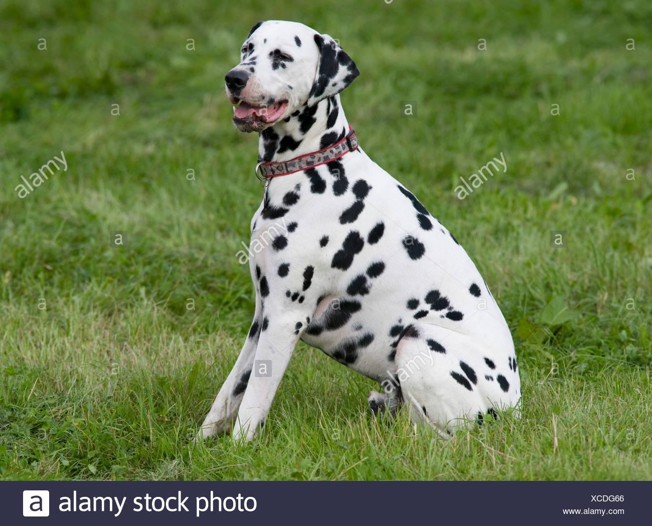 Dalmatian Dog UK in garden - Stock Image