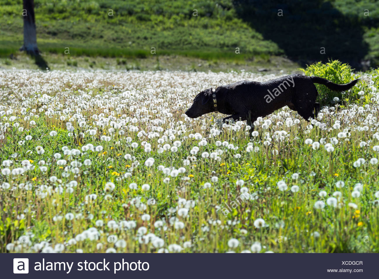 A black labrador dog in tall meadow grass. - Stock Image