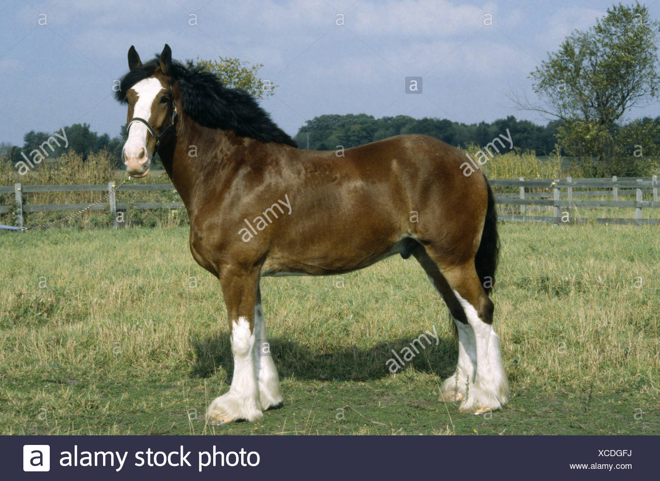 clydesdale jake color bay with white blaze and four white stockings illinois XCDGFJ