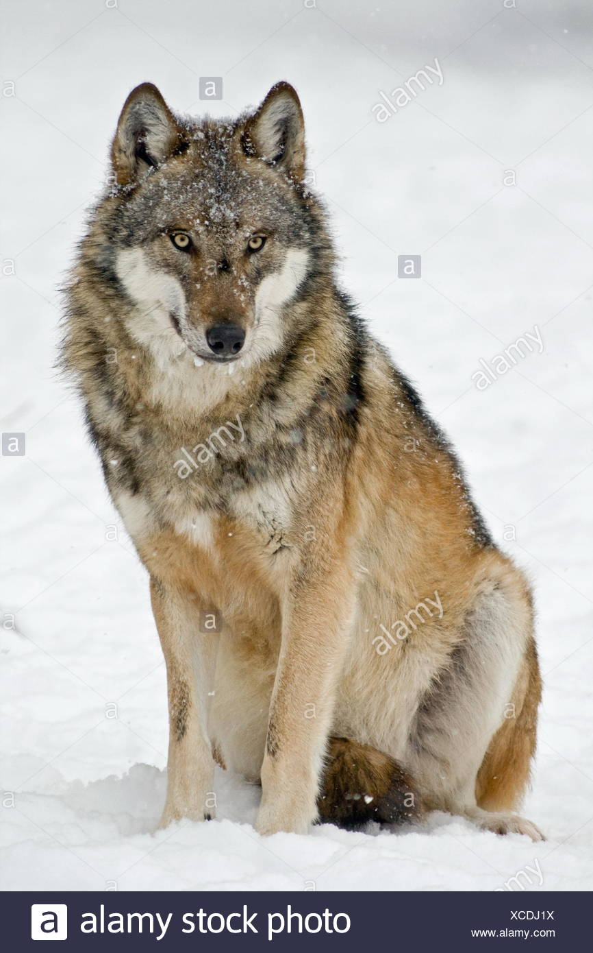 Wolf Sitting Stock Photos & Wolf Sitting Stock Images - Alamy