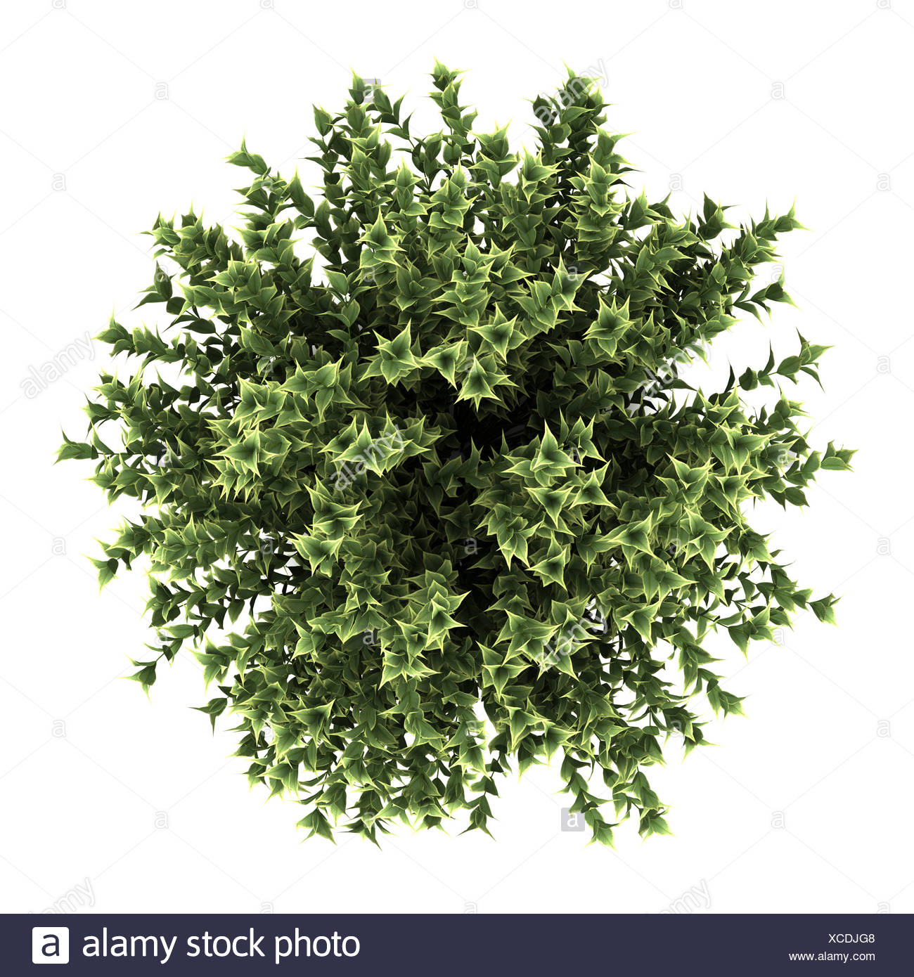 top view of red-barked dogwood bush isolated - Stock Image