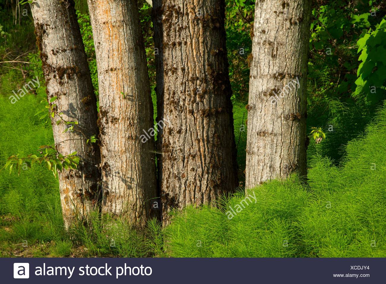 Cottonwood trunks along Pend dâ.Oreille Bay Trail, Sandpoint, Idaho. - Stock Image