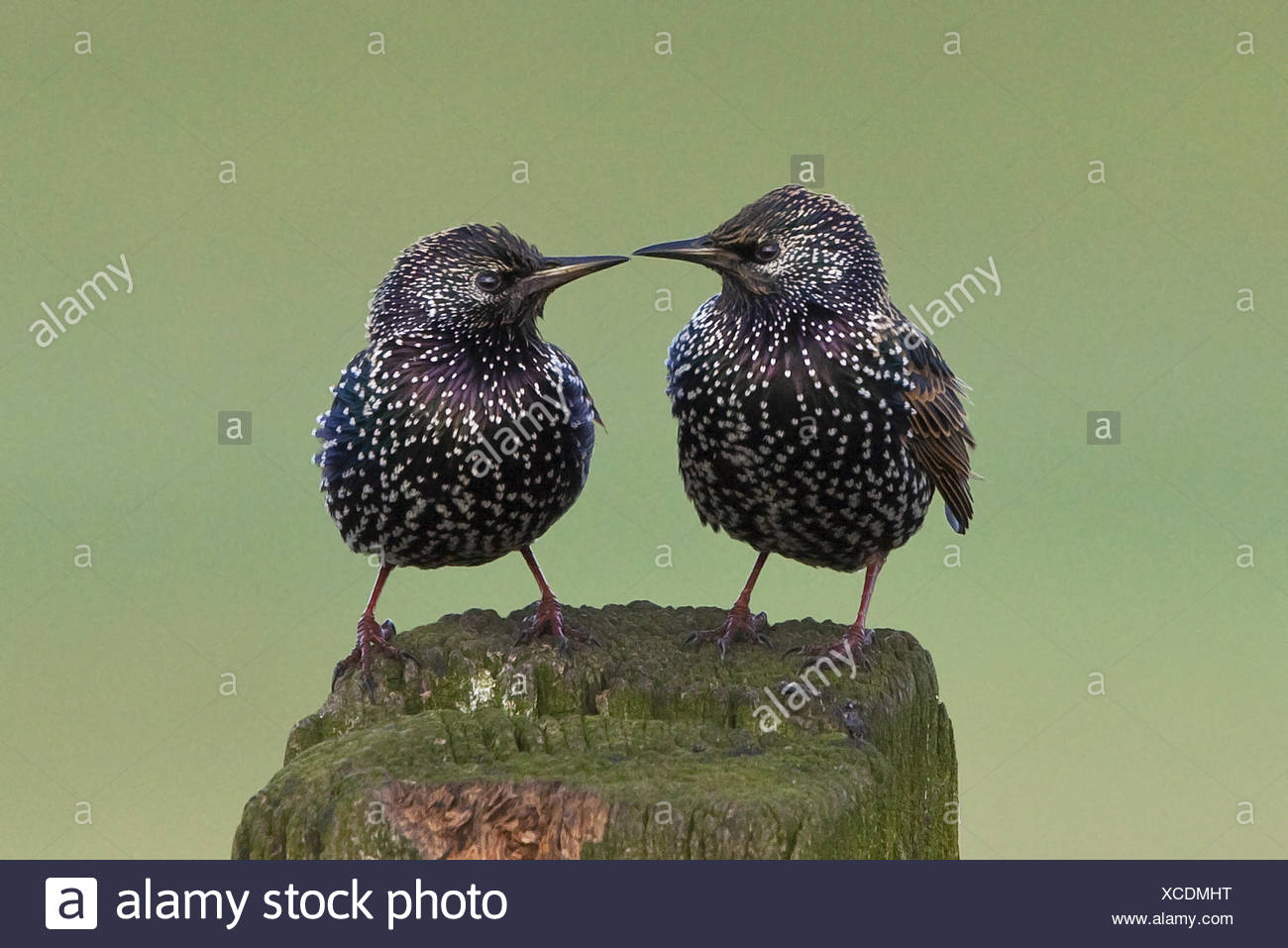 duo of Starlings looking at each other - Stock Image