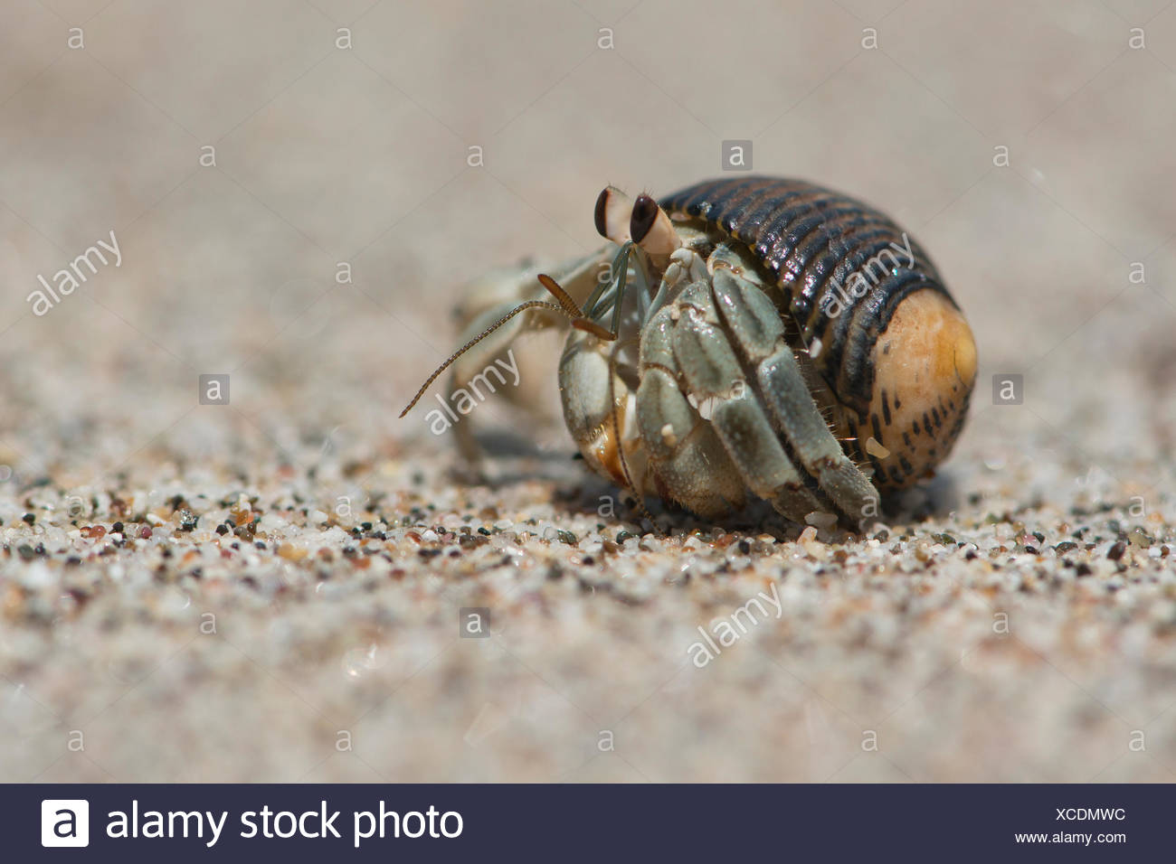 Ecuadorian Hermit Crab (Coenobita compressus) in the sand, Manuel Antonio National Park, Puntarenas Province, Costa Rica - Stock Image