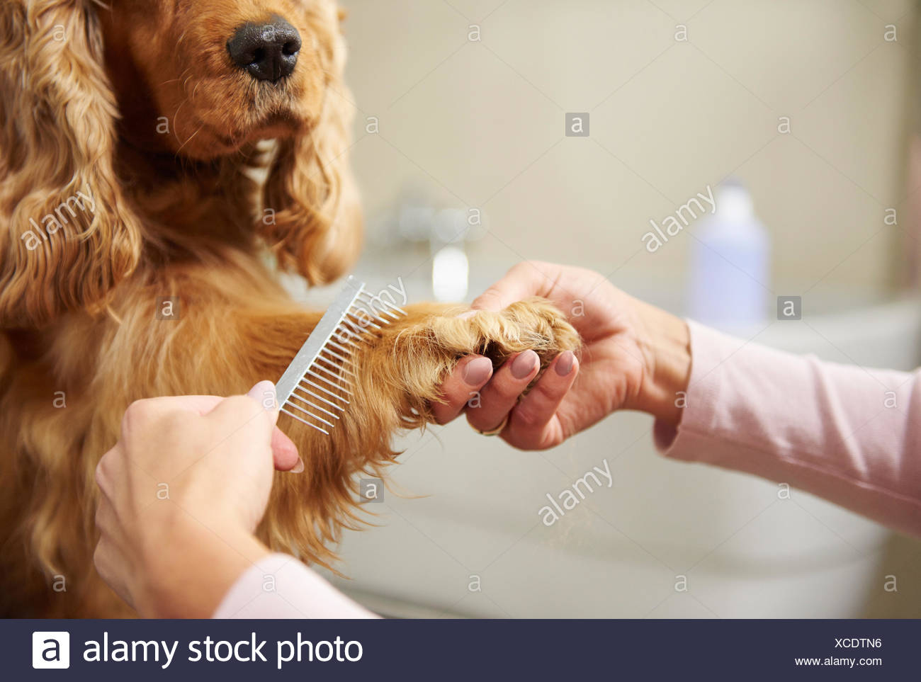 Hands of female groomer combing cocker spaniel's paw at dog grooming salon - Stock Image