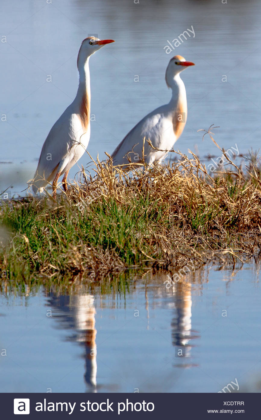 Cattle egrets, Bubulcus ibis, in breeding plumage, in California's Imperial Valley. - Stock Image