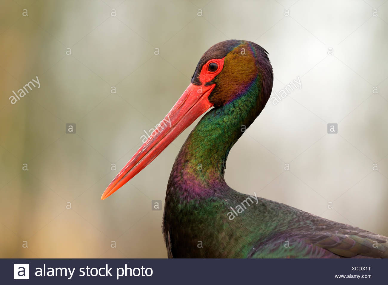Black stork (Ciconia nigra), head portrait, Kiskunság National Park, Hungary - Stock Image