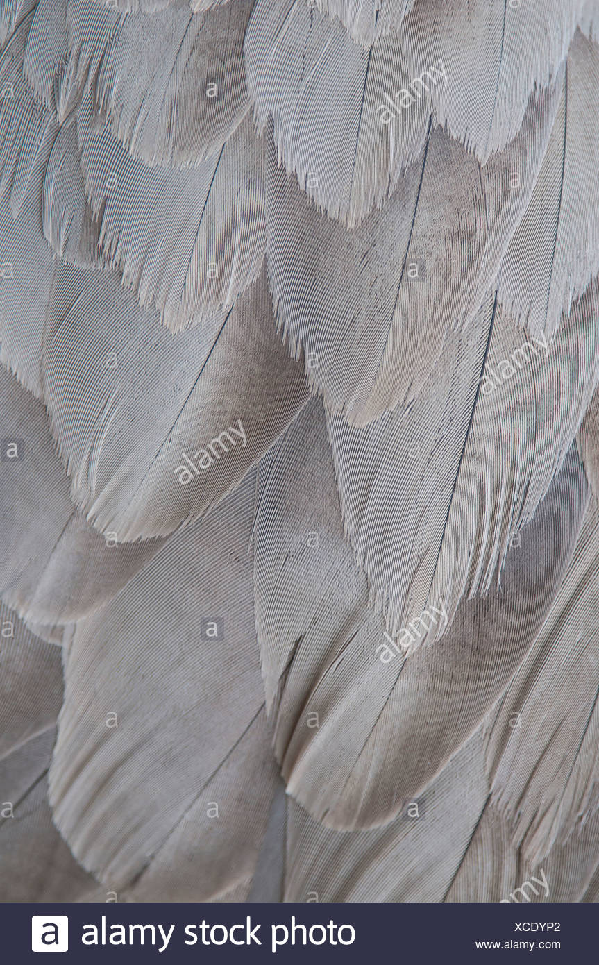 crane plumage, grus grus, germany Stock Photo