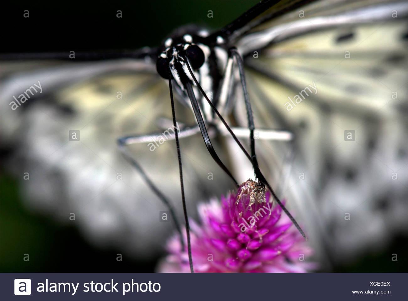 Tree Nymph ButterflyIdea leuconoe Asia Stock Photo