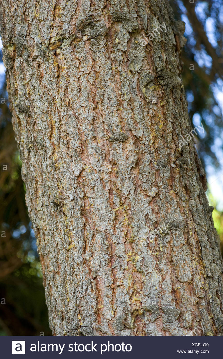 norway spruce, picea abies - Stock Image