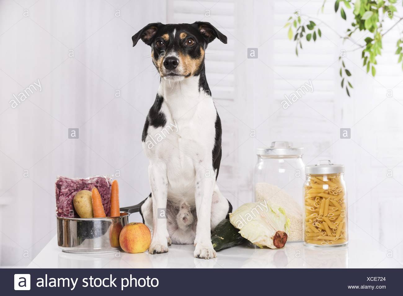 Jack Russell Terrier with food - Stock Image