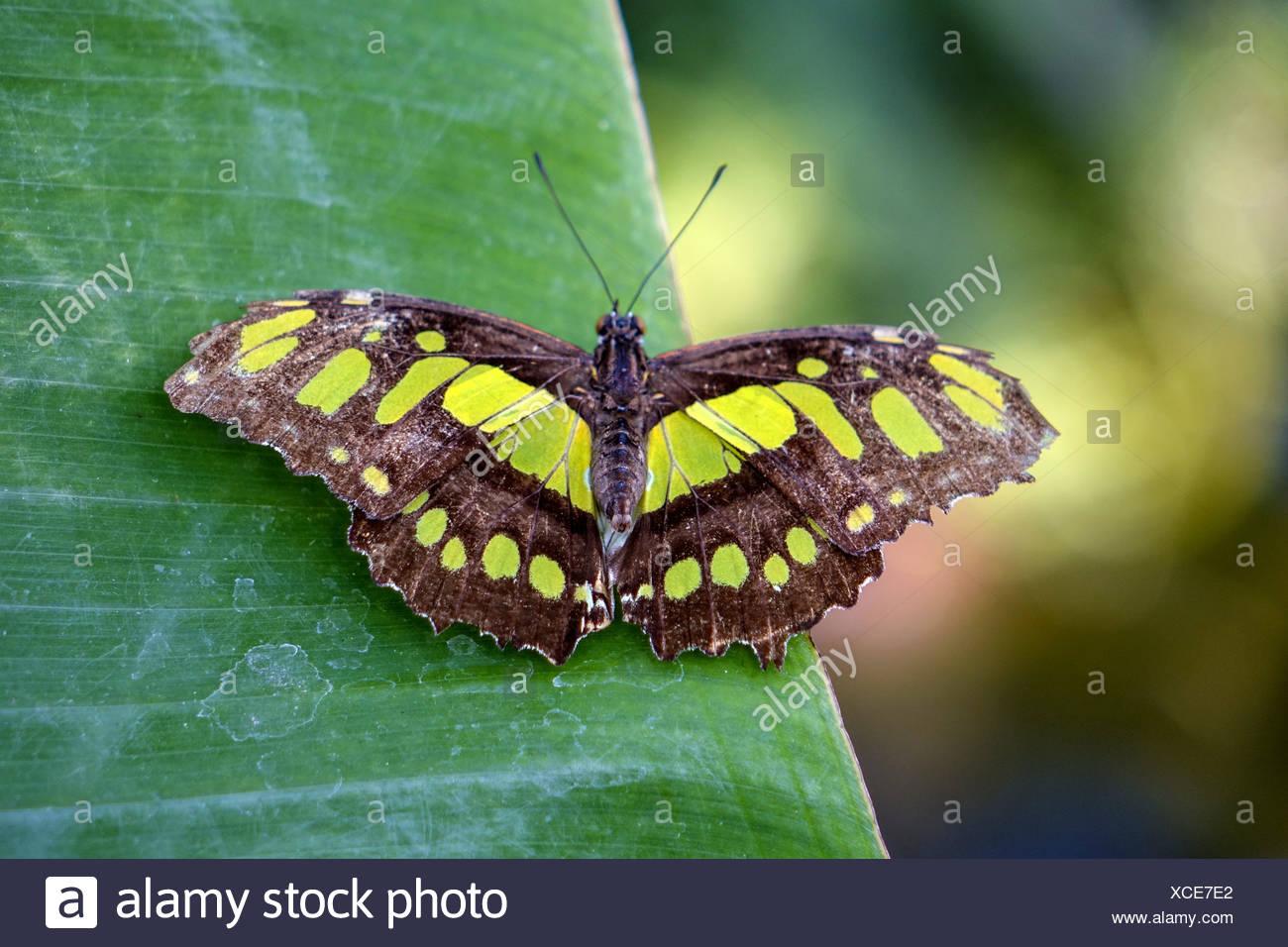 Tropischer Malachit-Schmetterling (Siproeta stelenes) sitzt auf einem Blatt - Stock Image