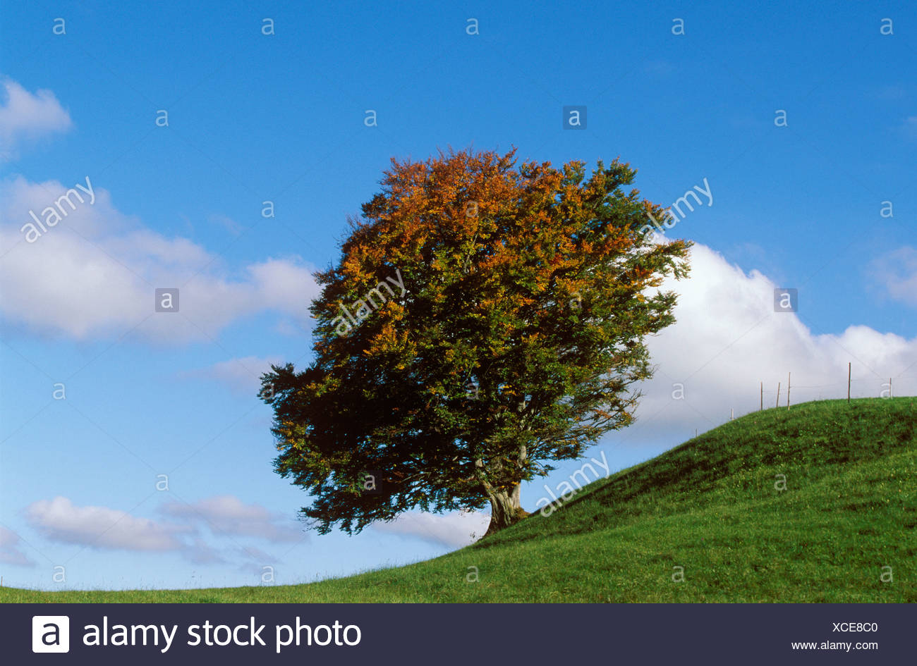 Beech tree (Fagus sylvatica) in autumn, East Allgaeu, Bavaria, Germany, Europe - Stock Image