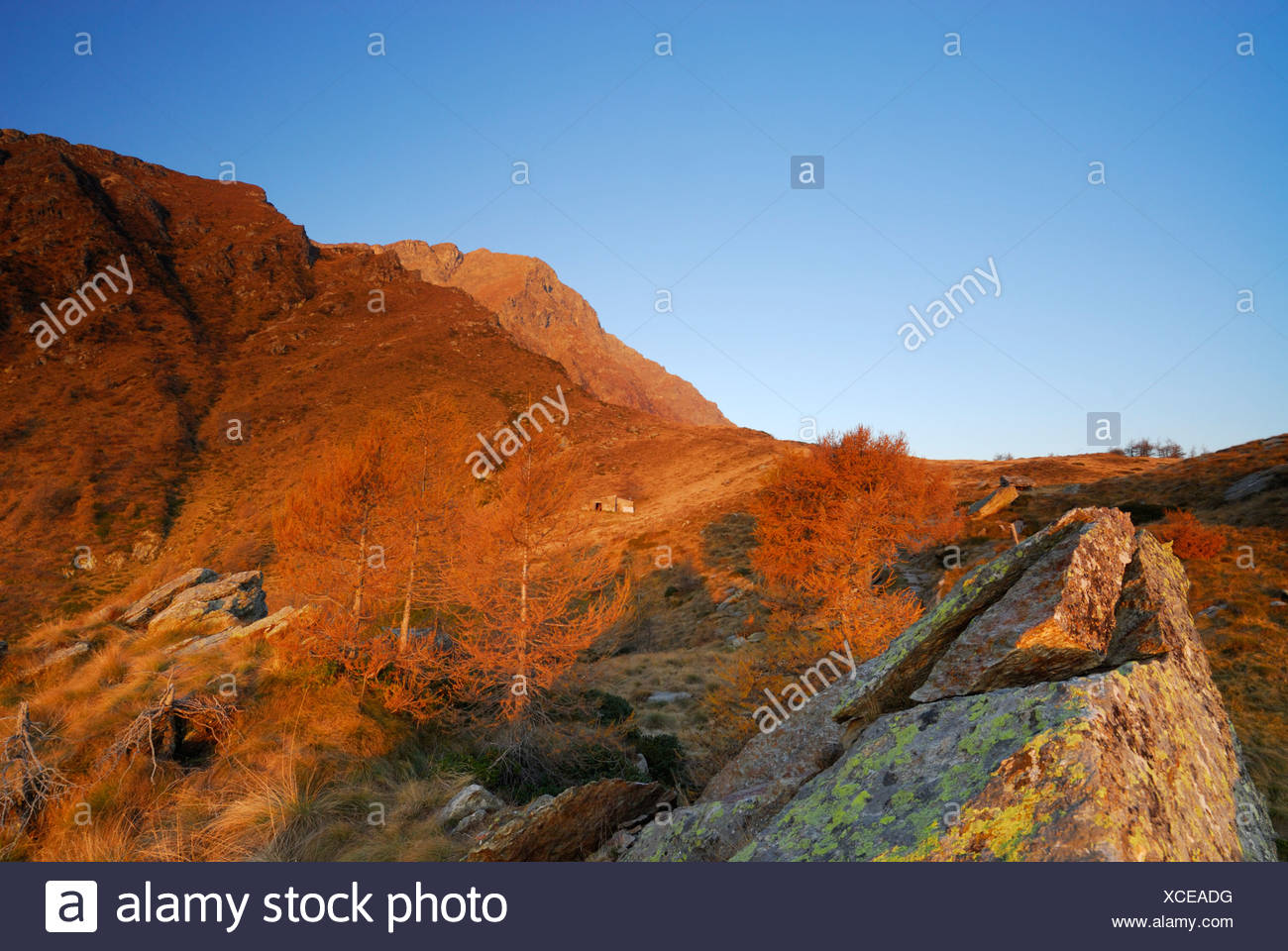 Larches in autumn colours in evening light, Monte Legnone, Bergamo Alps, Como, Lombardy, Italy Stock Photo