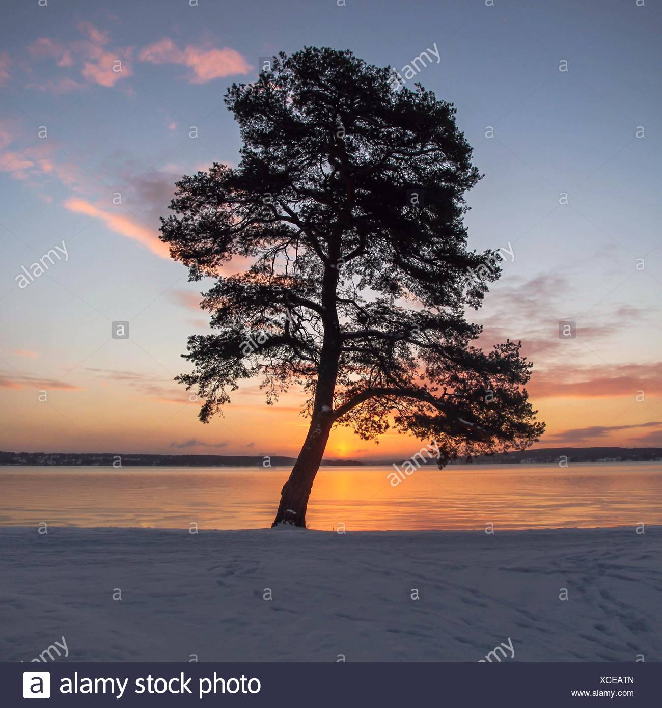 Tree by sea in snow, Sweden - Stock Image