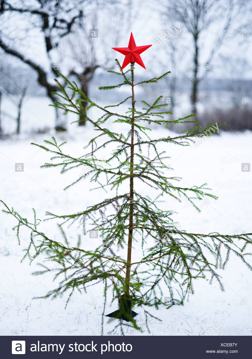 Chrstmas tree in a snow-covered forest, Sweden. - Stock Image