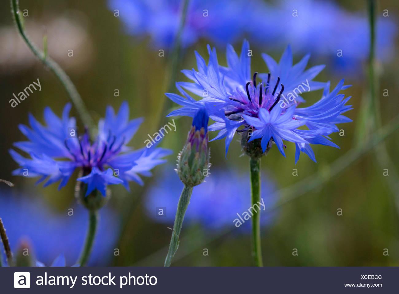 Kornblume (Centaurea cyanus), blaue Blueten, Deutschland, Bayern   bachelor's button, bluebottle, cornflower (Centaurea cyanus), - Stock Image