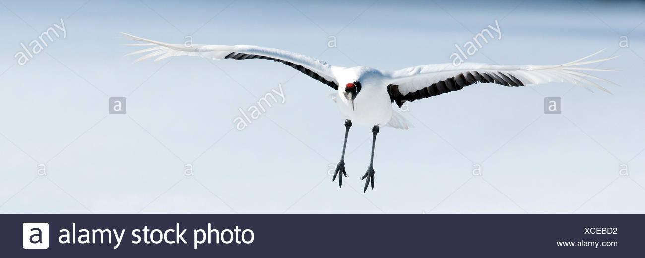 Japanese crane, Red-crowned crane (Grus japonensis), Flying, Japan - Stock Image