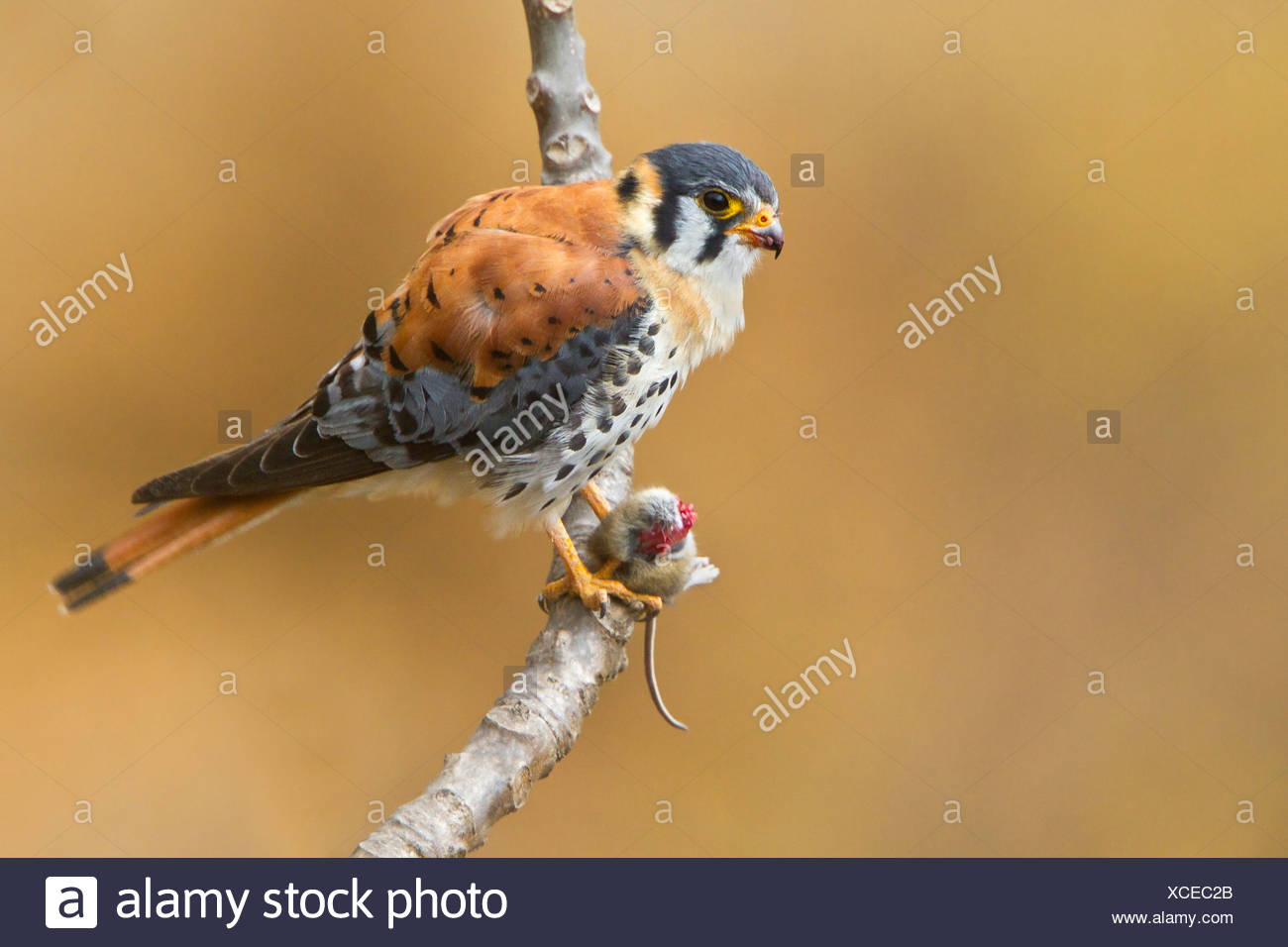 American Kestrel (Falco sparverius) perched on a branch in Peru. - Stock Image