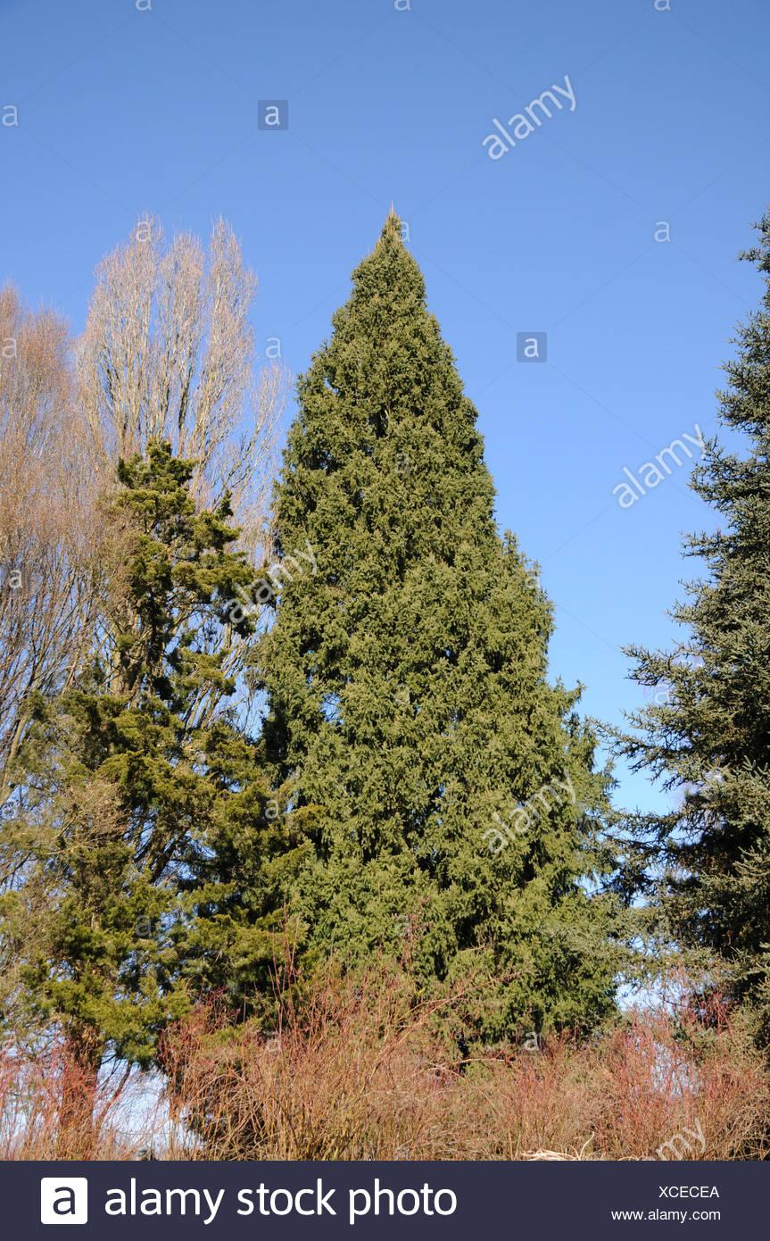 Pyramidal norway spruce - Stock Image