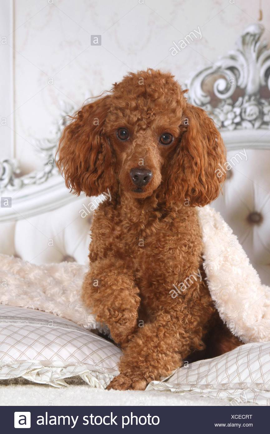 Miniature Poodle in bed - Stock Image