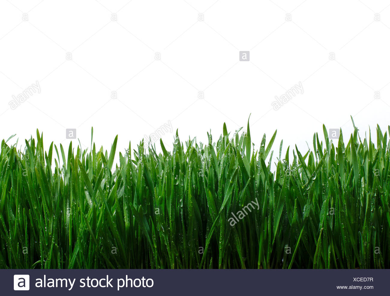 Blades of grass against white background - Stock Image