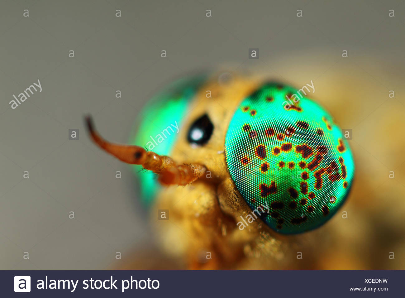 Silvius alpinus, a species of horsefly, with identical emerald green patches on the compound eyes. - Stock Image
