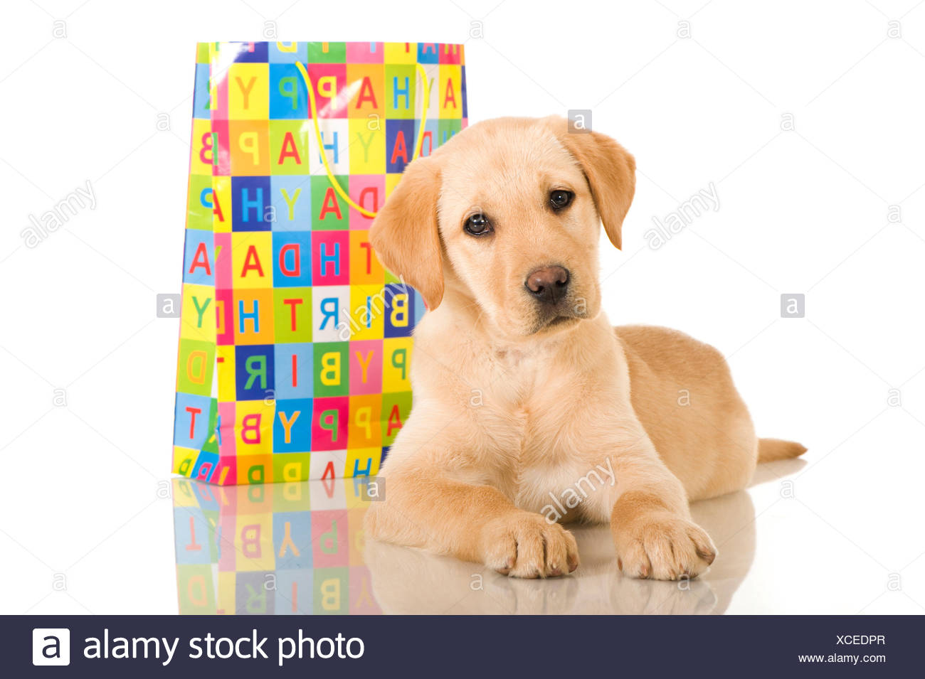 Labrador Retriever Yellow puppy lying next to colourful paper carrier bag imprint Happy Birthday - Stock Image