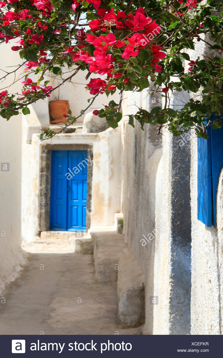 paper plant, four-o'clock (Bougainvillea spec.), white wall with Bougainvillea, blue front door, Greece, Cyclades, Santorin, Thira - Stock Image