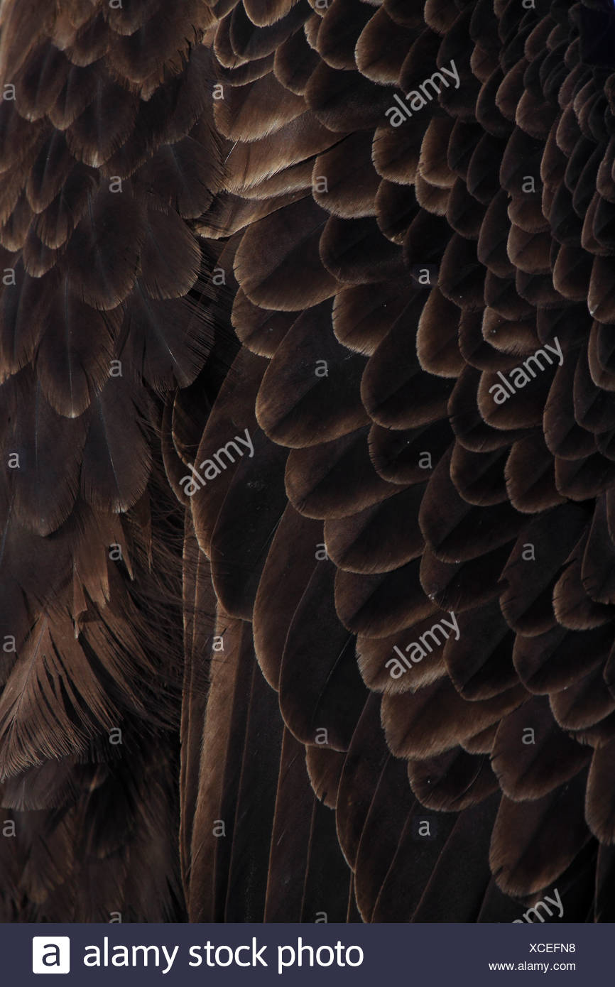 feathers of Bald Eagle, Haliaeetus leucocephalus, Weisskopfseeadler, Homer, Kenai Peninsula, Alaska, USA - Stock Image