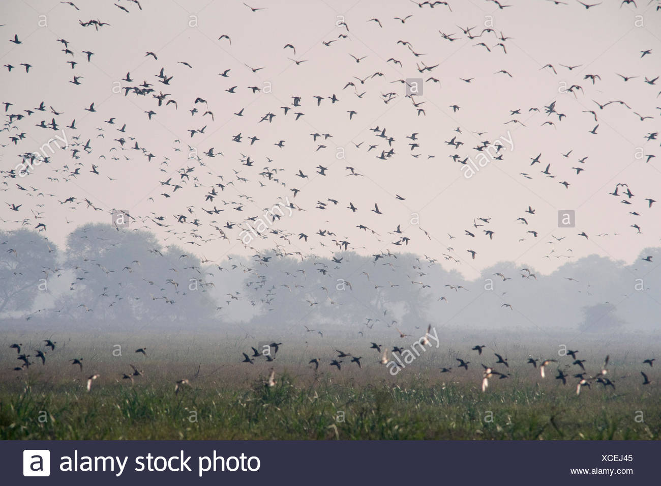 Ducks in flight, flock flying to roost for the night, Keoladeo National Park or Keoladeo Ghana National Park formerly known as the Bharatpur Bird Sanc - Stock Image