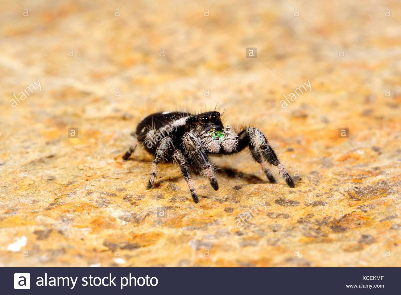 jumping spiders, regal jumping spider (Phidippus regius), male - Stock Image
