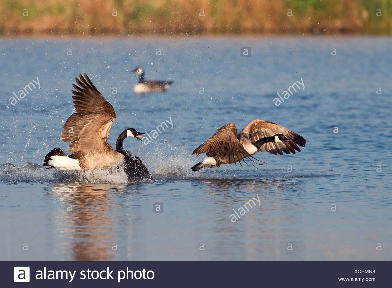 Canada Goose (Branta canadensis) chasing rival - Stock Image