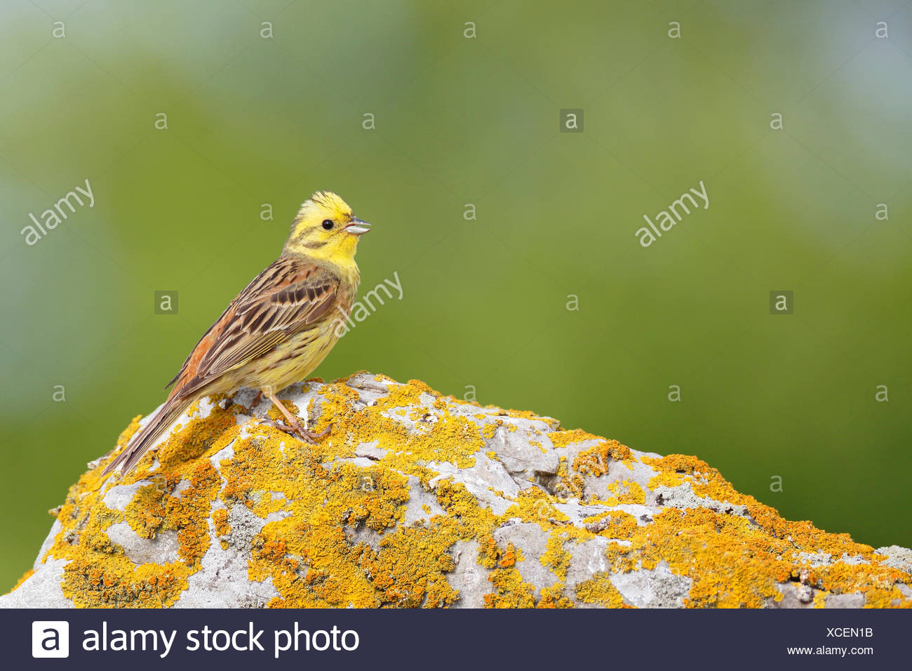 yellowhammer (Emberiza citrinella), male sitting on a lichened stone, Sweden, Oeland - Stock Image