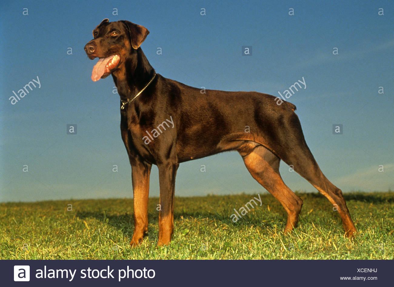 Doberman Pinscher dog non docked - standing on meadow - Stock Image