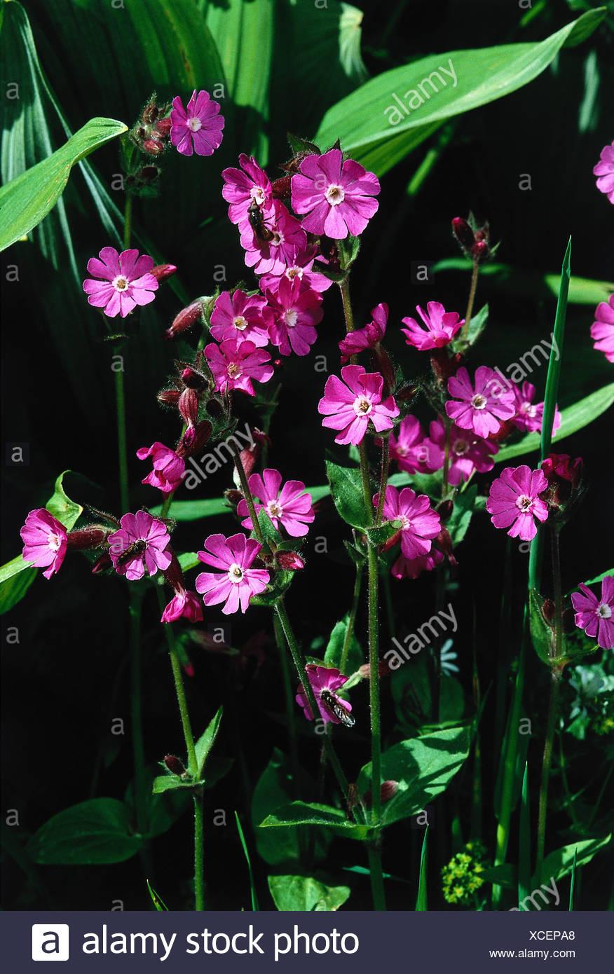 botany, Silene, (Melandrium), Red campion, (Melandrium rubrum), blossoms, Silena dioica, Melandrium rubrum, silvestre, diurnum, Stock Photo