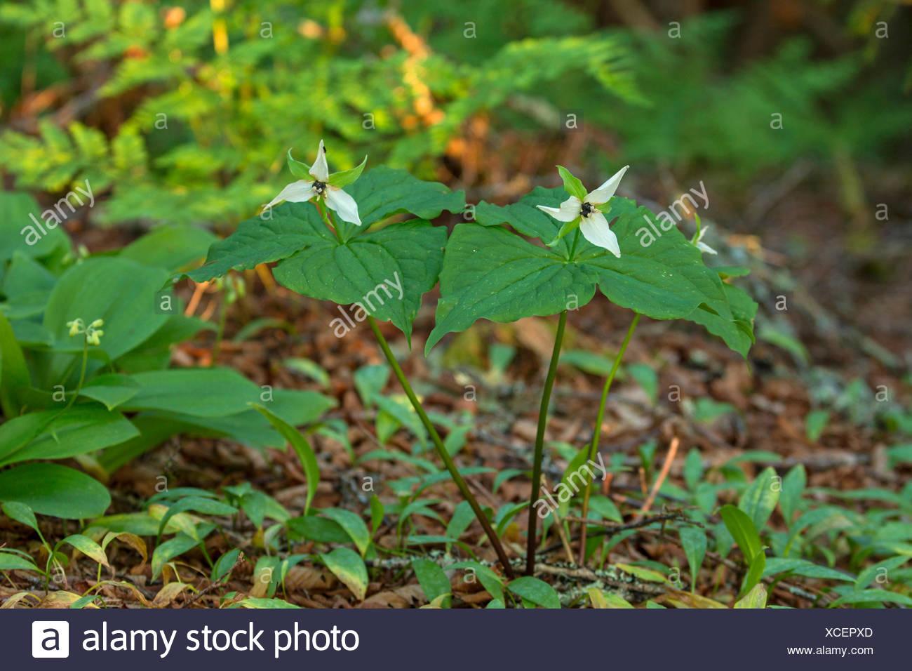stinking-benjamin, ill-scent trillium (Trillium erectum), blooming, USA, Tennessee, Great Smoky Mountains National Park - Stock Image