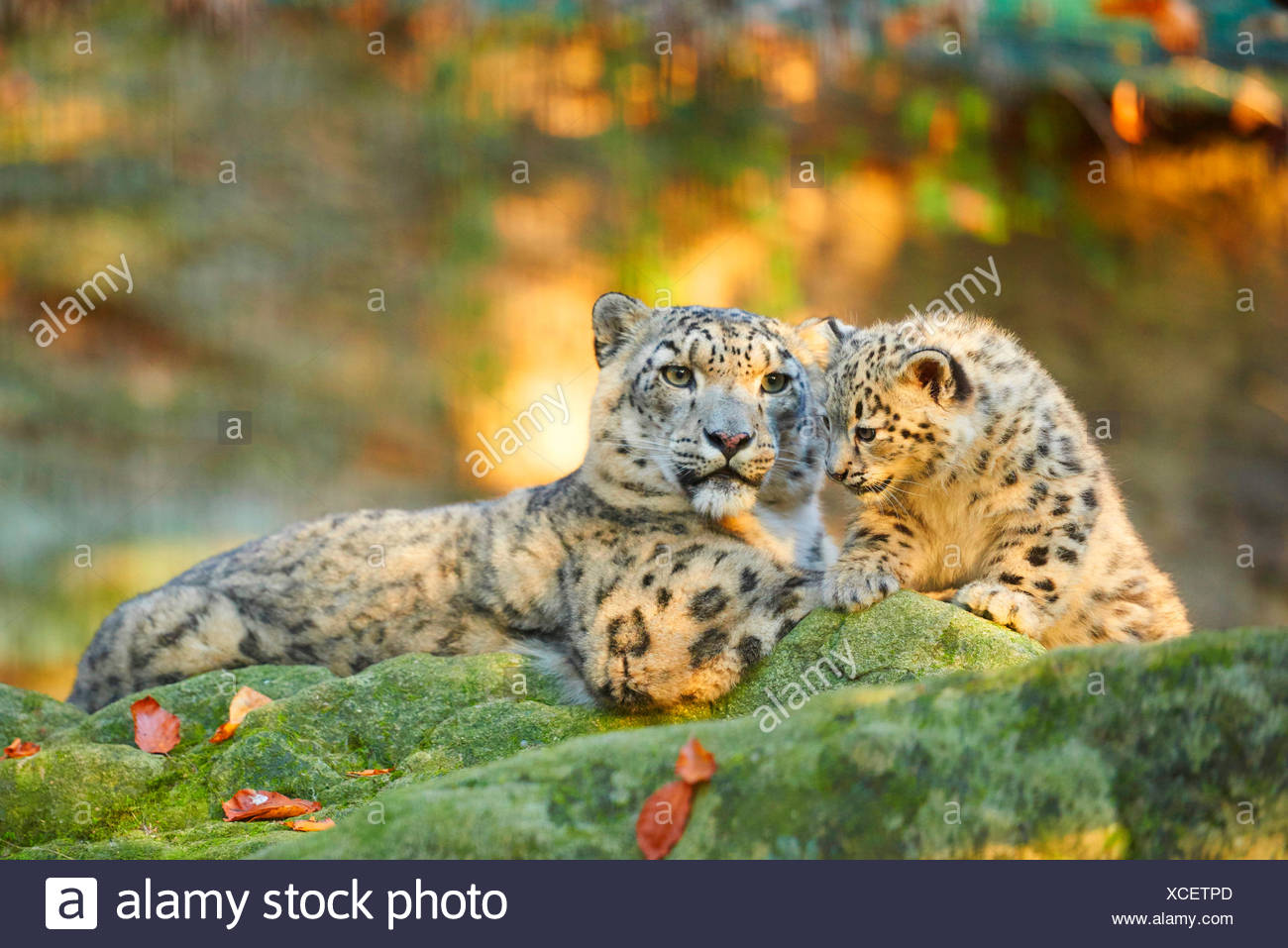 snow leopard (Uncia uncia, Panthera uncia), leopardesses lying with one youngster on a mossy rock - Stock Image