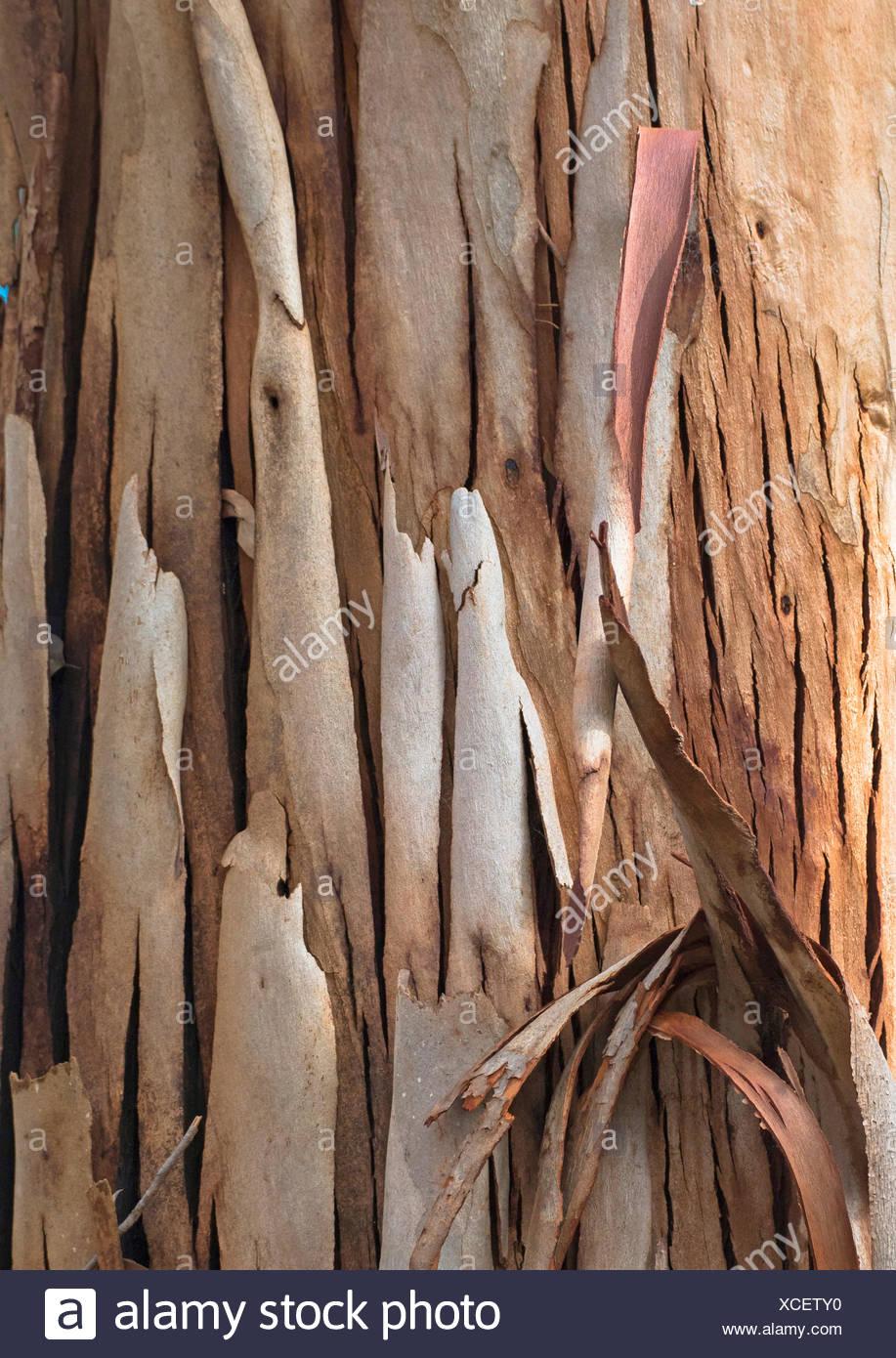 Ribbon Bark Mallee (Eucalyptus sheathiana), Ribbon-barked Gum, Australia, Western Australia, Denmark - Stock Image