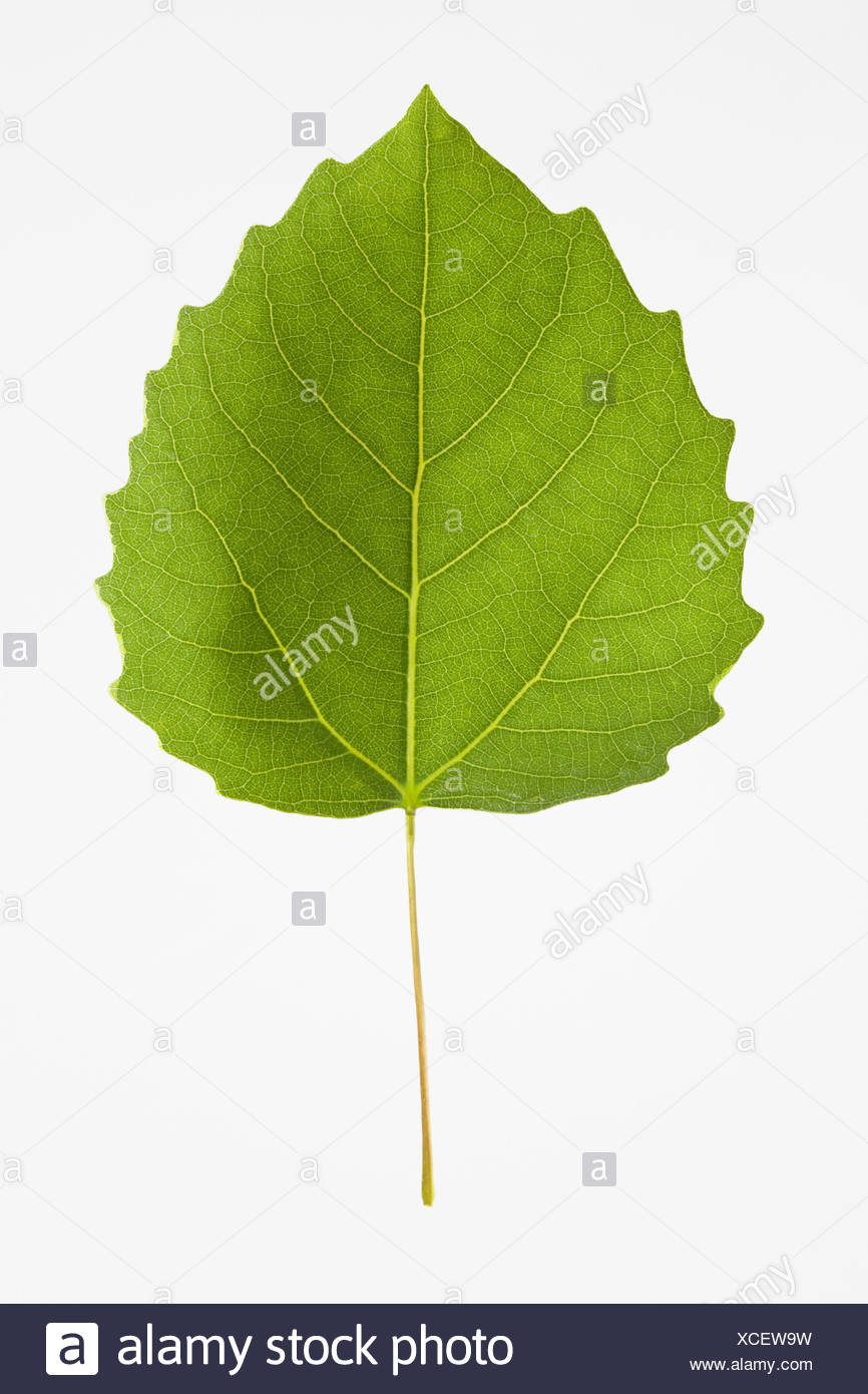 USA, New Jersey, Bigtooth Aspen Leaf Stock Photo