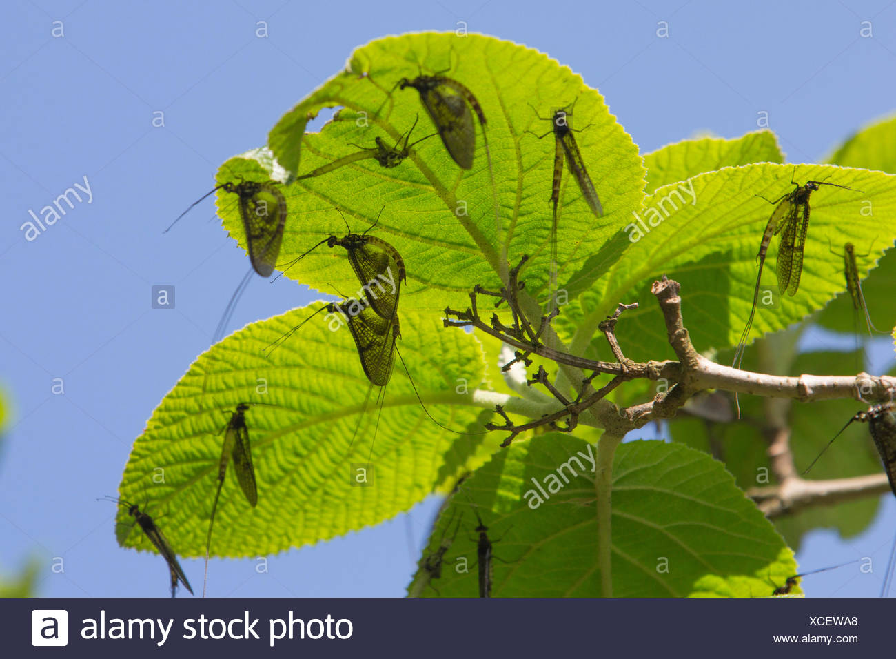 mayfly (cf. Ephemera vulgata), several imagines on leaves after skinning, Germany, Bavaria - Stock Image