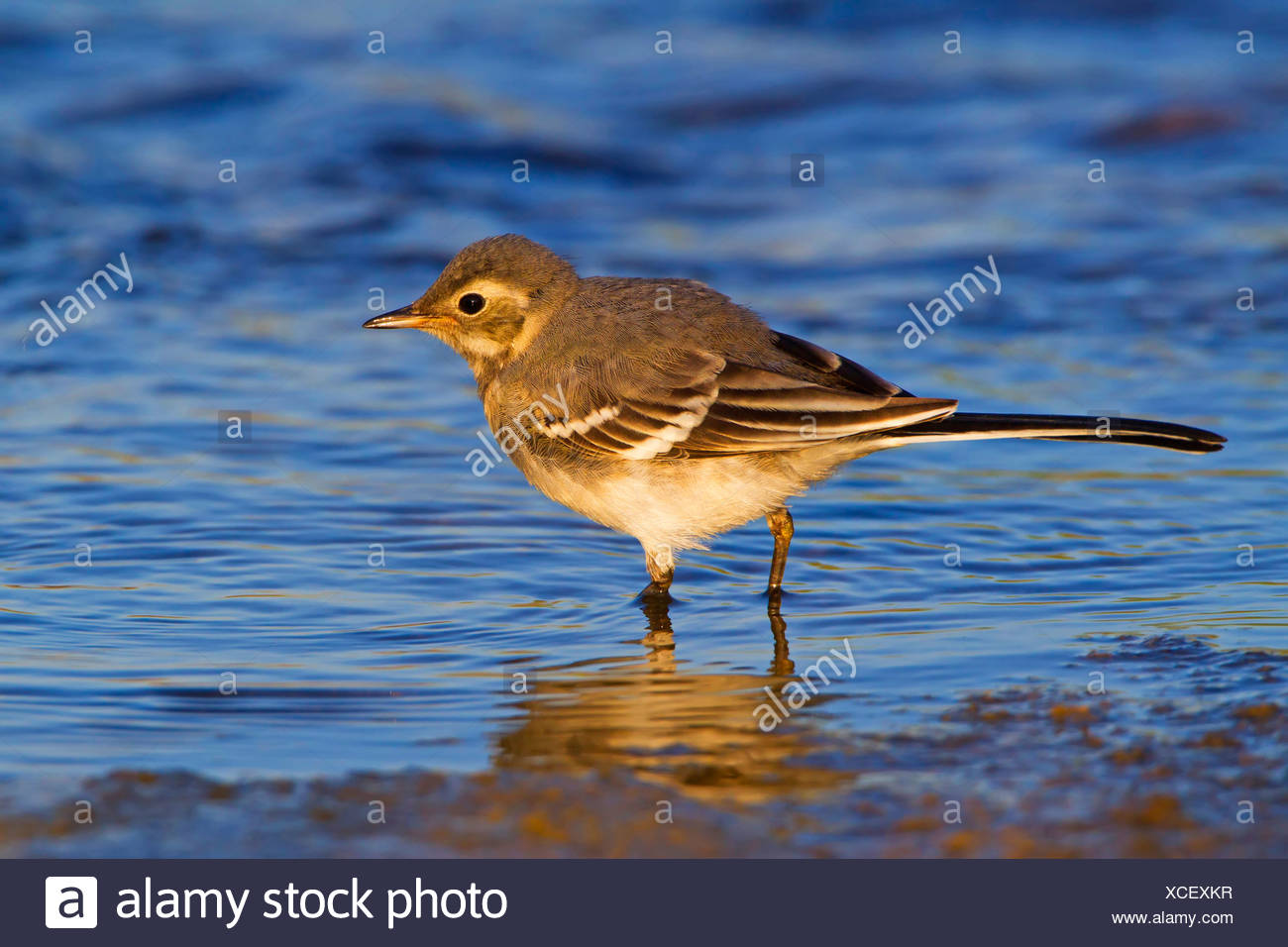 pied wagtail (Motacilla alba), on the feed in shallow water, Germany, Rhineland-Palatinate - Stock Image
